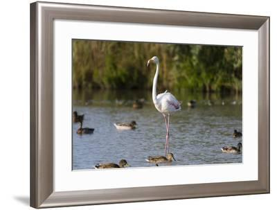 Portrait of a Greater Flamingo, Phoenicopterus Roseus, Standing Among Ducks in Water-Sergio Pitamitz-Framed Photographic Print