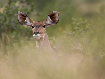 Portrait of a Greater Kudu, Tragelaphus Strepsiceros-Roy Toft-Photographic Print