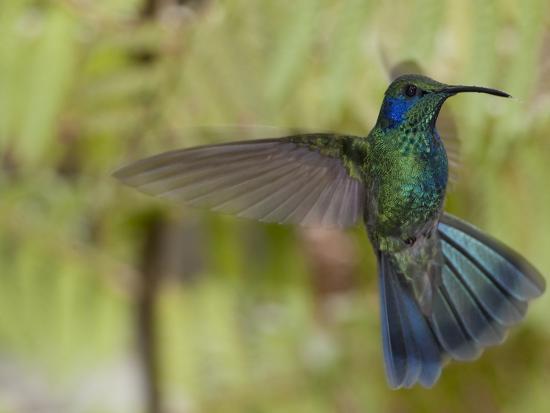 Portrait of a Green Violet-Ear Hummingbird, Colibri Thalassinus-Roy Toft-Photographic Print