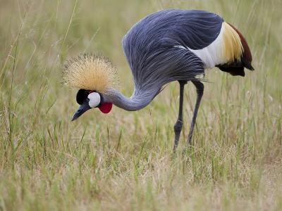 Portrait of a Grey-Crowned Crane, Balearica Regulorum-Roy Toft-Photographic Print