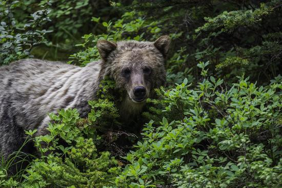 Portrait of a Grizzly Bear, Ursus Arctos, Foraging Among Shrubs-Jonathan Irish-Photographic Print
