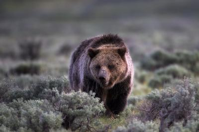 Portrait of a Grizzly Bear, Ursus Arctos, Walking Through Brush-Robbie George-Photographic Print