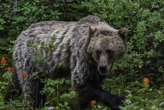 Portrait of a Grizzly Bear, Ursus Arctos, Walking Through Shrubs and Wildflowers-Jonathan Irish-Photographic Print