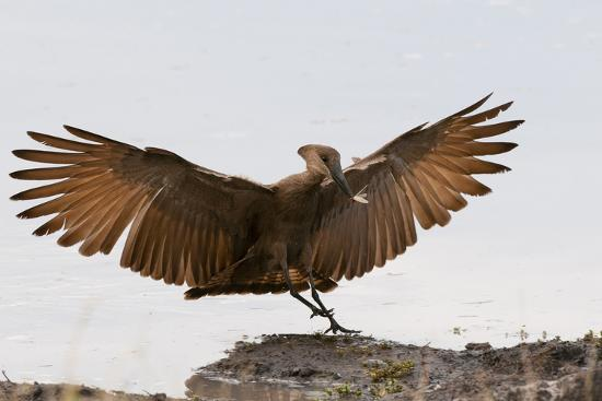 Portrait of a Hammerkop, Scopus Umbretta, Landing with a Termite in its Beak-Sergio Pitamitz-Photographic Print
