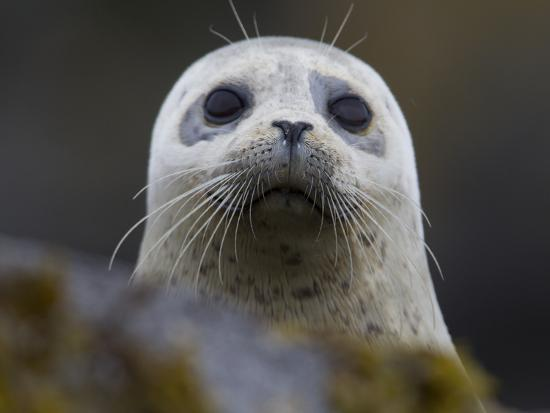 Portrait of a Harbor Seal, Phoca Vitulina-Roy Toft-Photographic Print