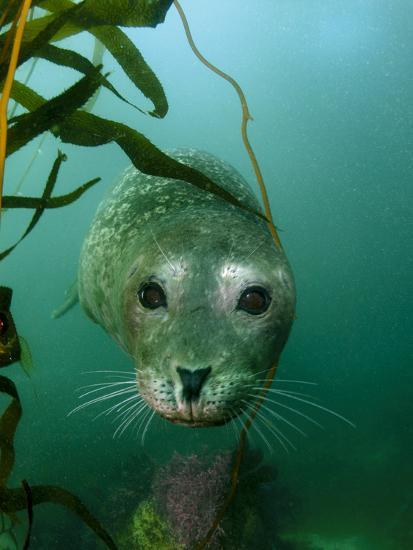 Portrait of a Harbor Seal-Jeff Wildermuth-Photographic Print
