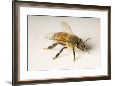 Portrait of a Honeybee, Apis Mellifera.-Joel Sartore-Framed Photographic Print