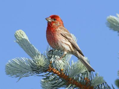 Portrait of a House Finch, Carpodacus Mexicanus, Perched in a Pine-George Grall-Photographic Print