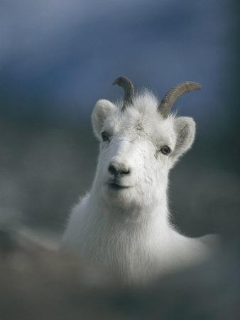 Portrait of a Juvenile Mountain Goat-Michael S^ Quinton-Photographic Print