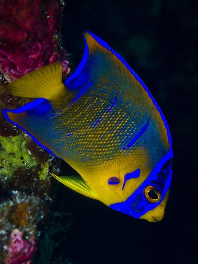 Portrait of a Juvenile Queen Angelfish Swimming-Jim Abernethy-Photographic Print