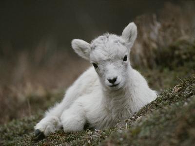 Portrait of a Juvenile Rocky Mountain Goat-Michael S^ Quinton-Photographic Print