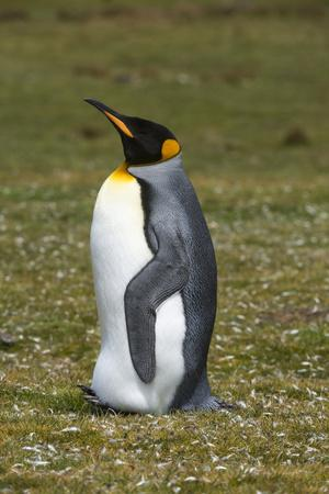 https://imgc.artprintimages.com/img/print/portrait-of-a-king-penguin-aptenodytes-patagonica_u-l-q1gcn5z0.jpg?p=0