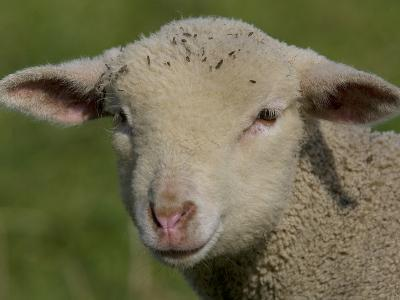 Portrait of a Lamb a Couple of Days Old-Joe Petersburger-Photographic Print