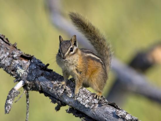 Portrait of a Least Chipmunk, Tamias Miniums, on a Tree Branch-Roy Toft-Photographic Print
