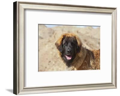 Portrait of a Leonberger-Zandria Muench Beraldo-Framed Photographic Print