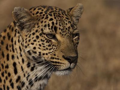 Portrait of a Leopard, Panthera Pardus-Beverly Joubert-Photographic Print