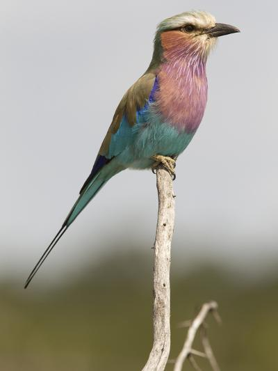 Portrait of a Lilac-Breasted Roller, Coracias Caudata-Roy Toft-Photographic Print
