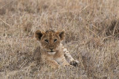 Portrait of a Lion Cub, Panthera Leo, Lying in the Grass-Sergio Pitamitz-Photographic Print