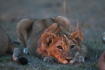Portrait of a Lion Cub, Panthera Leo, Resting at Sunset-Sergio Pitamitz-Framed Photographic Print