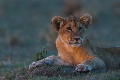 https://imgc.artprintimages.com/img/print/portrait-of-a-lion-cub-panthera-leo-resting-at-sunset_u-l-pswgbd0.jpg?p=0