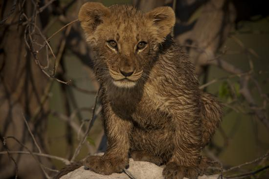 Portrait of a Lion Cub Sitting on Top of an Anthill-Beverly Joubert-Photographic Print
