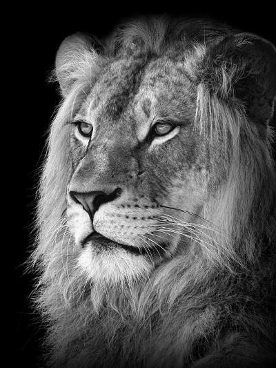 Portrait Of A Lion In Black And White-Reinhold Leitner-Photographic Print