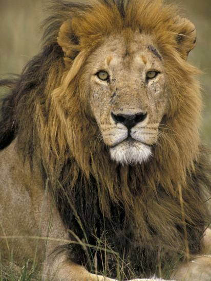 Portrait of a Lion, Kenya-Art Wolfe-Photographic Print
