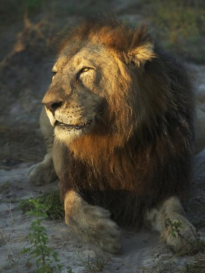 Portrait of a Lion, Panthera Leo, Resting in Late Evening Sunlight-Bob Smith-Photographic Print