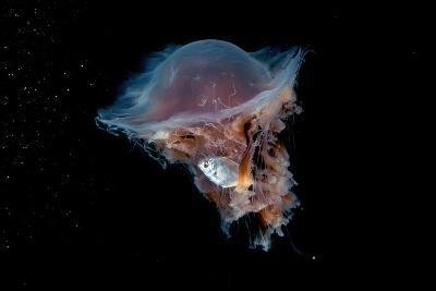 Portrait of a Lion's Mane Jellyfish, Cyanea Capillata, with a Butterfish Caught in its Tentacles-David Doubilet-Photographic Print