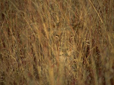 portrait of a lioness hiding and camouflaged in long grass, krugerportrait of a lioness hiding and camouflaged in long grass, kruger national park, south africaby paul allen