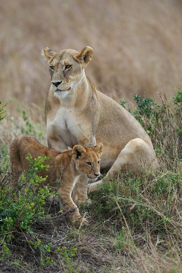 Portrait of a Lioness, Panthera Leo, and Her Cub-Bob Smith-Photographic Print