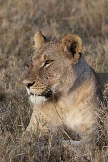 Portrait of a Lioness, Panthera Leo, at Rest-Sergio Pitamitz-Photographic Print