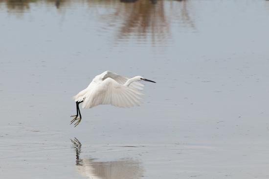 Portrait of a Little Egret, Egretta Garzetta, Flying Low over the Water-Sergio Pitamitz-Photographic Print