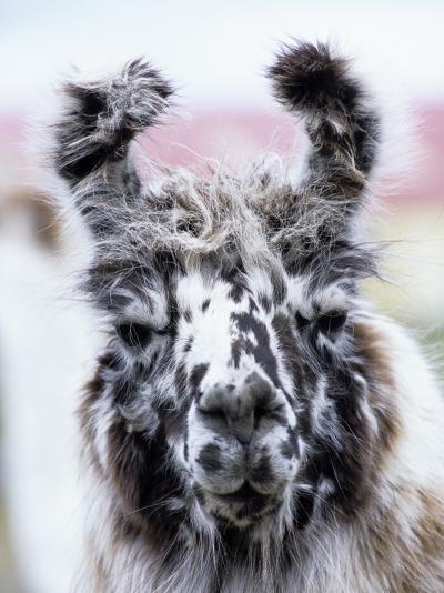 Portrait of a Llama, Estancia Rio Penitente, Near Punta Arenas, Patagonia-Holger Leue-Photographic Print
