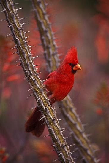 Portrait of a Male Cardinal, Cardinalis Cardinalis, Perched on a Thorny Branch-John Cancalosi-Photographic Print