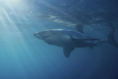 Portrait of a Male Great White Shark, Carcharodon Carcharias, Swimming in Rays of Sunlight-Jeff Wildermuth-Photographic Print