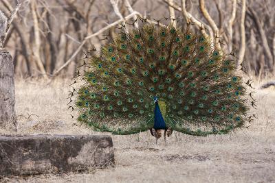 Portrait of a Male Indian Peacock, Pavo Cristatus, Displaying-Jonathan Irish-Photographic Print