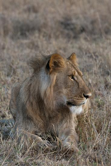 Portrait of a Male Lion, Panthera Leo, at Rest-Sergio Pitamitz-Photographic Print