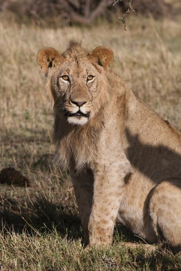 Portrait of a Male Lion, Panthera Leo, Looking at the Camera-Sergio Pitamitz-Photographic Print