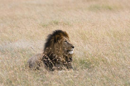 Portrait of a Male Lion, Panthera Leo, Masai Mara, Kenya-Sergio Pitamitz-Photographic Print