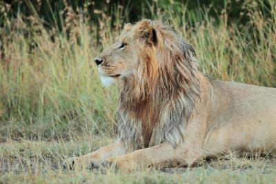 Portrait of a Male Lion, Panthera Leo, Resting But Alert-Joe Petersburger-Photographic Print