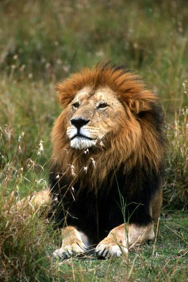 Portrait of a Male Lion, Panthera Leo-Cagan Sekercioglu-Photographic Print