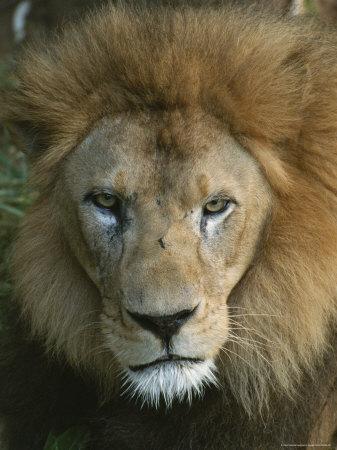 https://imgc.artprintimages.com/img/print/portrait-of-a-male-lion_u-l-p4n1380.jpg?p=0