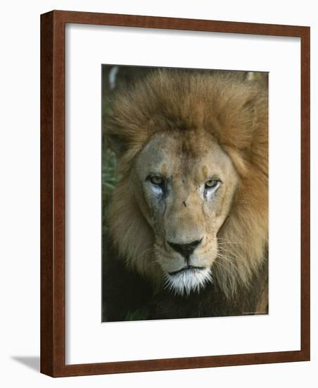 Portrait of a Male Lion-Taylor S. Kennedy-Framed Photographic Print
