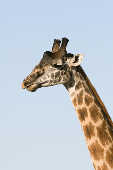 Portrait of a Male Maasai Giraffe, Giraffa Camelopardalis Tippelskirchi-Sergio Pitamitz-Photographic Print