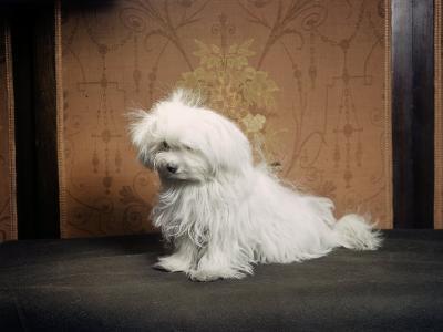 Portrait of a Maltese Dog-Willard Culver-Photographic Print