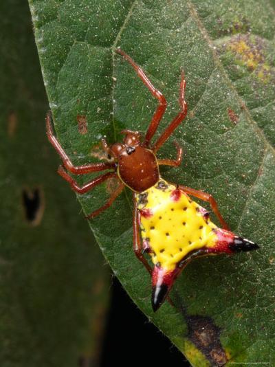 Portrait of a Micrathena Sagittata Spider on a Leaf-George Grall-Photographic Print