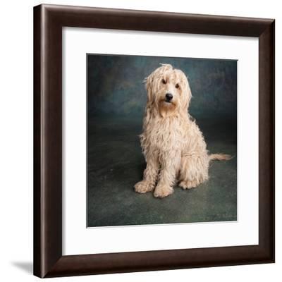 Portrait of a Mini Golden Doodle Dog--Framed Photographic Print