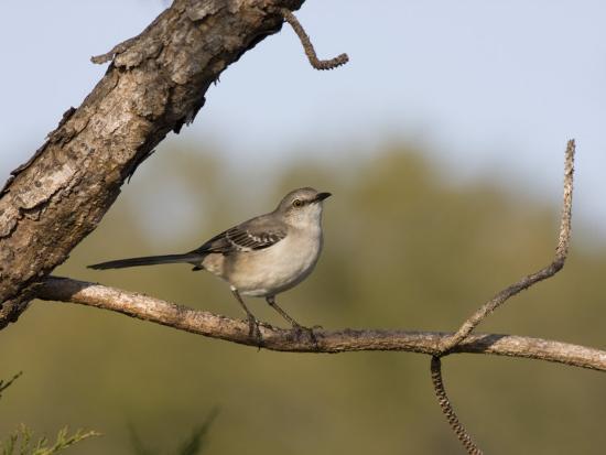 Portrait of a Mockingbird, Florida's State Bird-Marc Moritsch-Photographic Print