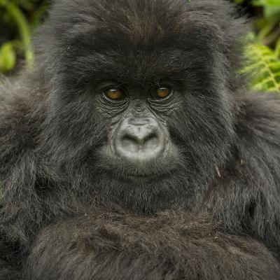 Portrait of a Mountain Gorilla from the Umubano Group-Michael Melford-Photographic Print